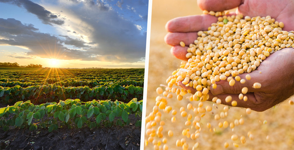 Så gick den lilla sojabönan från föraktad – till en av världens mest odlade grödor